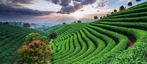 plantations de thé japonaises